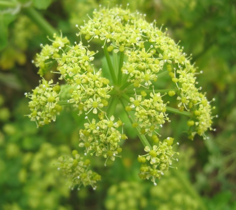 Some kind of cow parsley, but greener!