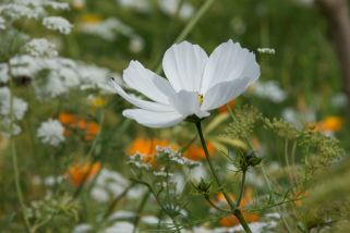 Cosmos & Californian Poppies