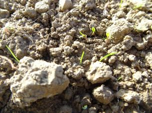Weeds already coming up