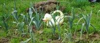 Watering Duck