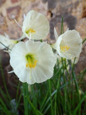 Spoirot Narcissus