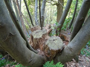 Coppiced