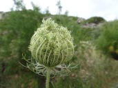Something in the cow parsley family
