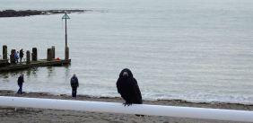 Crow watcher