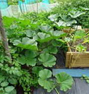 A giant pumpkin plant