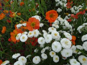 Geums and something else!