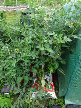 Tomato scrum
