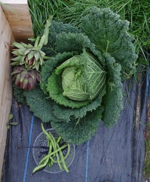 Giant cabbage and some globe artichokes