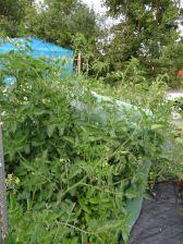 Tomato overgrowth