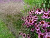 Echinacea & Grasses