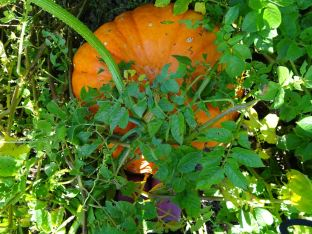Giant pumpkin (See feet for scale!)