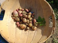 Spuds from one plant