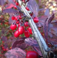 Berberis berries (I think)