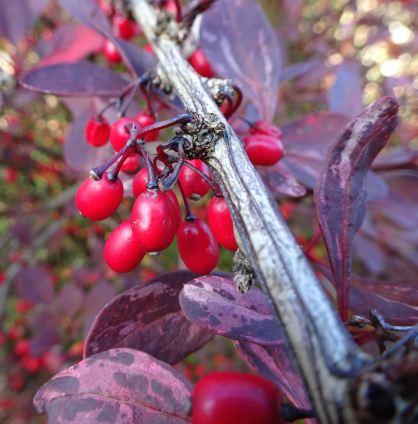 Berberis berries (I think)
