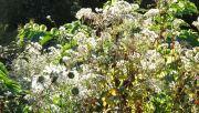 White Garden seed heads