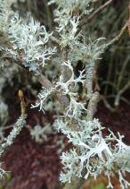 Silver green (lichen)