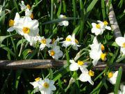 Narcissi Geranium