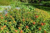 Euphorbia (I think)