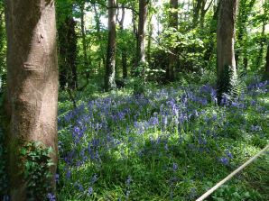 Bluebells at Godophin