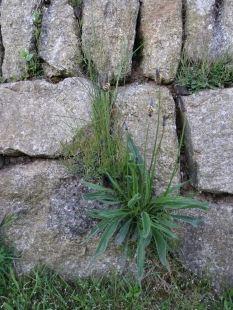 Plantain I think
