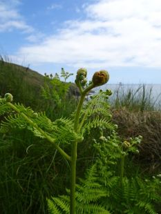 Fern above Rinsey