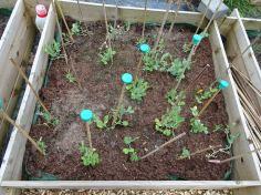 Pea planting