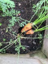 First ever carrots