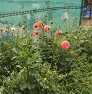 A few dahlia