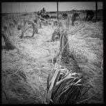 Planting marram grass