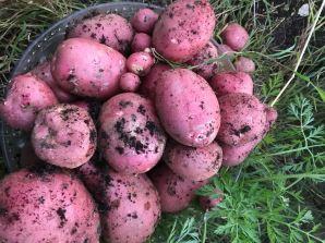 Mozart Potatoes