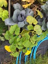 Cabbage / Squash